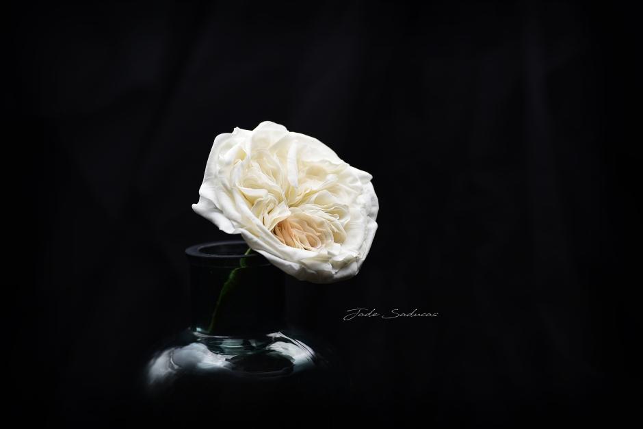 DSC_4954 english rose WMrz
