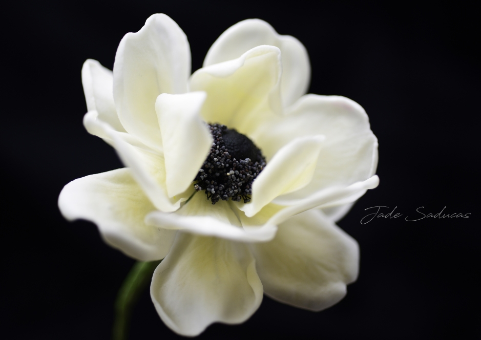 EDIBLE ANEMONE FLOWER